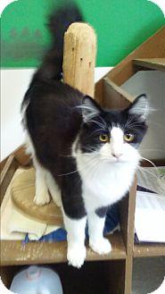 Domestic Longhair Cat for adoption in Diamond Springs, California - Yoda Prince