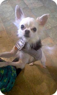 Chihuahua Dog for adoption in Mentor, Ohio - PEANUT**  5 lbs!! READ ENTIRE BIO ****