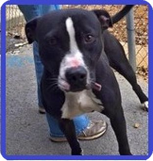 Labrador Retriever Mix Dog for adoption in Charlotte, North Carolina - MIDNIGHT
