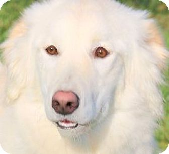 Golden Retriever/Great Pyrenees Mix Dog for adoption in Wakefield, Rhode Island - CHELSEA(WOW!! GORGEOUS GIRL!!