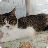 Domestic Shorthair Cat for adoption in Long Beach, Washington - Teddy