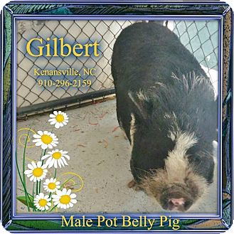 Pig (Potbellied) for adoption in Kenansville, North Carolina - GILBERT