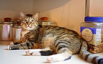 Domestic Shorthair Cat for adoption in Westminster, Maryland - Beth