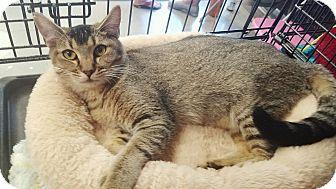 Abyssinian Cat for adoption in Cerritos, California - Sahara