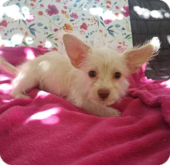 Terrier (Unknown Type, Small)/Maltese Mix Puppy for adoption in La Verne, California - Cagney