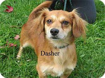 Dachshund Mix Dog for adoption in Warren, Pennsylvania - Dasher