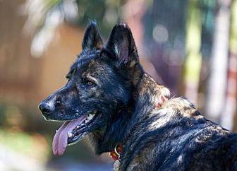 German Shepherd Dog Dog for adoption in San Diego, California - Laika