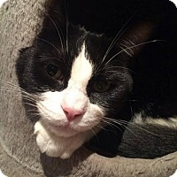 Adopt A Pet :: Shrek - Hamilton, ON