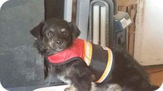 Shih Tzu Mix Dog for adoption in Phoenix, Arizona - Tramp