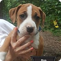 Adopt A Pet :: Boo - Louisville, KY