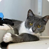 Adopt A Pet :: Bonnie Blue - Scituate, MA