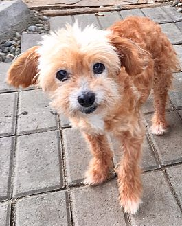 Poodle (Toy or Tea Cup) Mix Dog for adoption in Santa Ana, California - Itzy