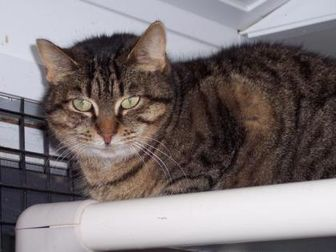 Domestic Shorthair/Domestic Shorthair Mix Cat for adoption in Chambersburg, Pennsylvania - Sophie