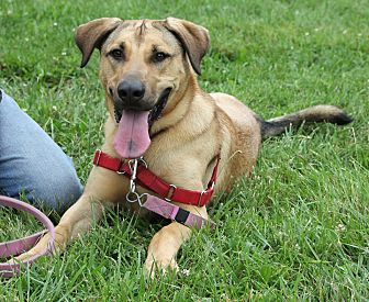 Rhodesian Ridgeback/Shepherd (Unknown Type) Mix Dog for adoption in Harrison, New York - Alice