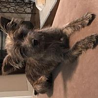 Adopt A Pet :: Nessie 1 Year - C/S & Denver Metro, CO