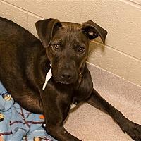 Adopt A Pet :: Batman - Birmingham, AL