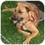 Photo 4 - Mastiff/Belgian Malinois Mix Puppy for adoption in Sacramento, California - Ashley PENDING