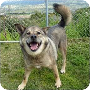Siberian Husky/Norwegian Elkhound Mix Dog for adoption in San Clemente, California - KAISER