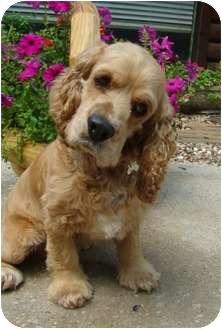 Cocker Spaniel Dog for adoption in Sugarland, Texas - Prancer