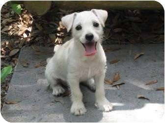 Cairn Terrier/Chihuahua Mix Puppy for adoption in Palm Harbor, Florida - Willow