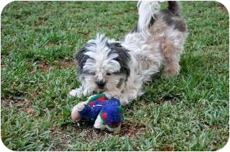 Shih Tzu Puppy for adoption in Yorba Linda, California - Skyler