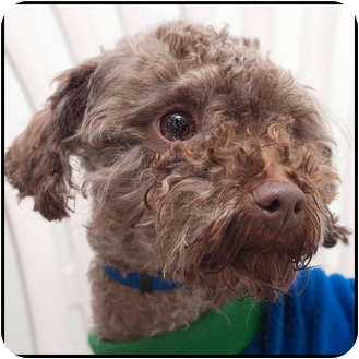 Poodle (Miniature) Mix Dog for adoption in Westfield, New York - Coco