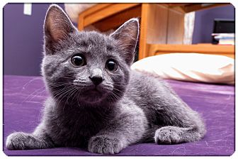 Domestic Shorthair Kitten for adoption in Sterling Heights, Michigan - Desiree - ADOPTED!