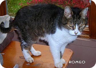Domestic Shorthair Cat for adoption in McArthur, Ohio - ROMEO