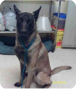 Belgian Malinois Mix Dog for adoption in Yuba City, California - 01/09 Unnamed