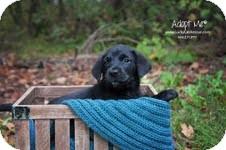 Labrador Retriever Mix Puppy for adoption in Salem, Massachusetts - Melvin