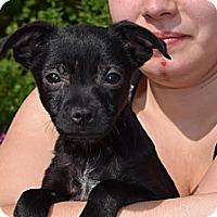 Adopt A Pet :: Ivan - South Jersey, NJ