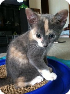 Calico Kitten for adoption in Trevose, Pennsylvania - Bliss