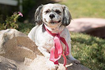 Shih Tzu Mix Dog for adoption in Sherman Oaks, California - Bebe