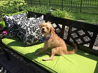 Wirehaired Fox Terrier Mix Dog for adoption in Lakeville, Minnesota - Buddy