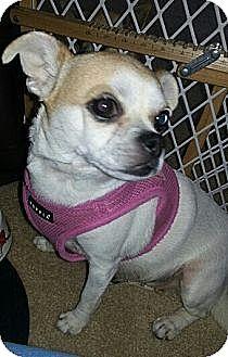 Chihuahua/Pug Mix Dog for adoption in Oviedo, Florida - Cocoa