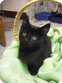 Domestic Shorthair Kitten for adoption in China, Michigan - Jim Beam - PENDING