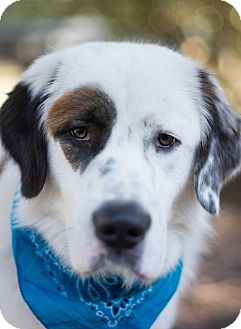 Great Pyrenees/St. Bernard Mix Dog for adoption in Glastonbury, Connecticut - Rufus