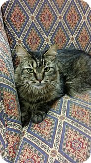 Domestic Mediumhair Cat for adoption in Naples, Florida - Charlotte