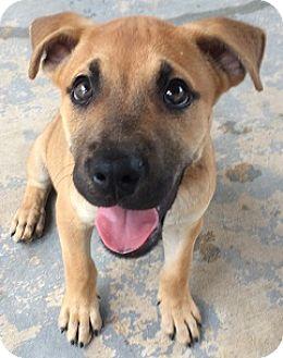 Boxer Mix Puppy for adoption in San Antonio, Texas - Hercules