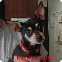 Adopt A Pet :: Mouse - Greencastle, NC