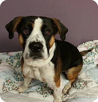 Boxer/Rottweiler Mix Dog for adoption in Lisbon, Ohio - George