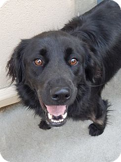 Flat-Coated Retriever Mix Dog for adoption in White River Junction, Vermont - Pepper