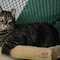Adopt A Pet :: Kit (Courtesy Post) - St. Louis, MO