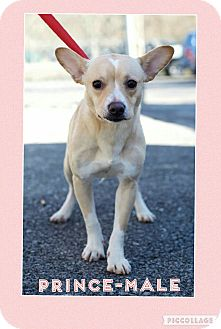 Corgi/Feist Mix Dog for adoption in Hagerstown, Maryland - Prince (pom-dc)