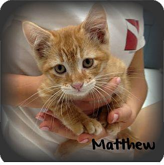 Domestic Shorthair Kitten for adoption in Covington, Louisiana - Matthew