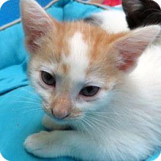 Domestic Shorthair Kitten for adoption in Janesville, Wisconsin - Jackie