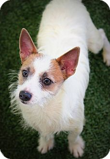 Jack Russell Terrier Mix Dog for adoption in Ft. Lauderdale, Florida - Alex