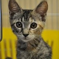 Domestic Shorthair/Domestic Shorthair Mix Cat for adoption in Pompano Beach, Florida - CousCous