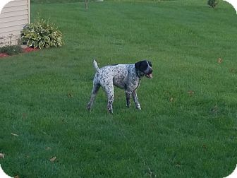 German Shorthaired Pointer Mix Dog for adoption in Linden, Michigan - Soren