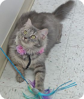 Domestic Mediumhair Cat for adoption in Chambersburg, Pennsylvania - Millie